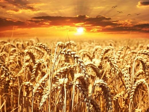 amanece campo trigo