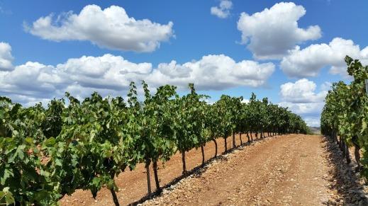 Plantación de Viñedo