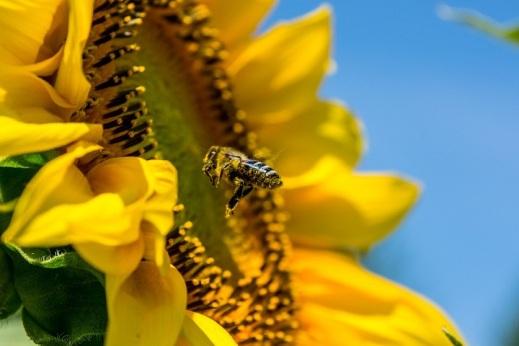 abeja y girasol