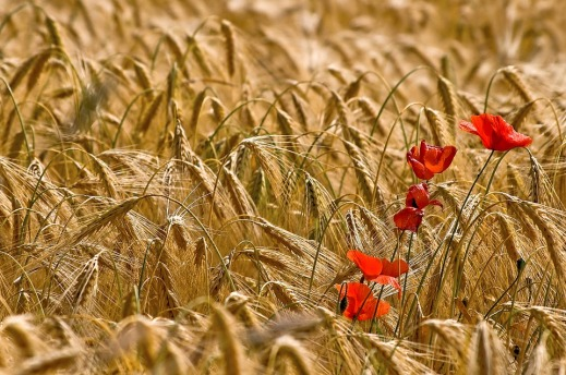 El trigo entre todas las flores