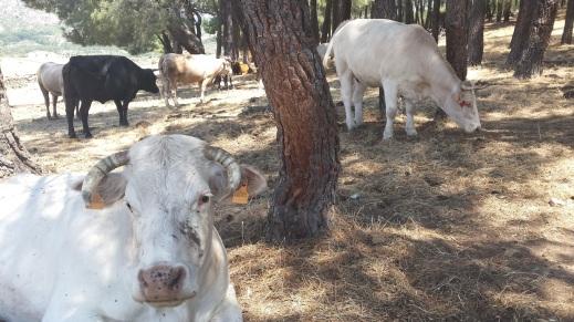 Vacas en monte
