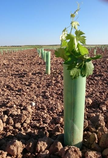 planta de viñedo