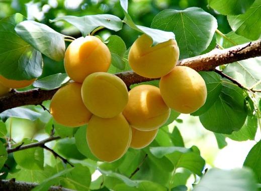 seguro-frutales
