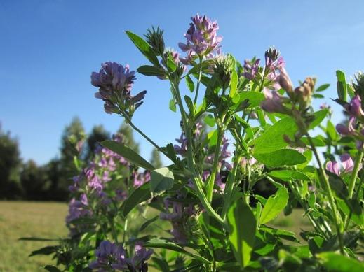 greening cultivos fijadores nitrogeno
