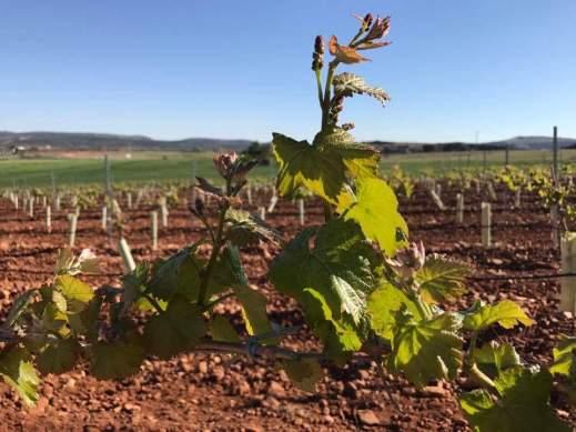 reestructuración del viñedo castilla-la mancha
