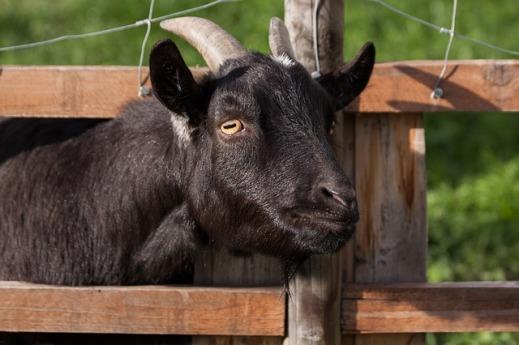brucelosis ovina caprina