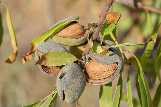 FEGA ayuda asociada frutos cáscara