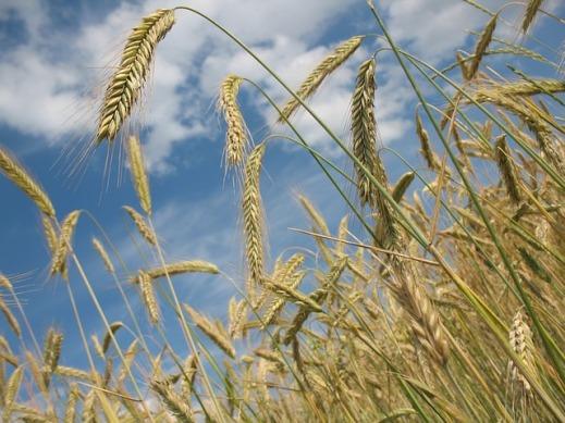 Cereales UE