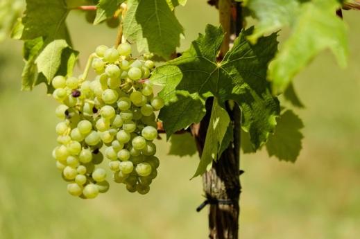 Seguro de uva de vinificación