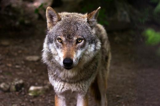 Ayudas CLM prevención ataque lobos