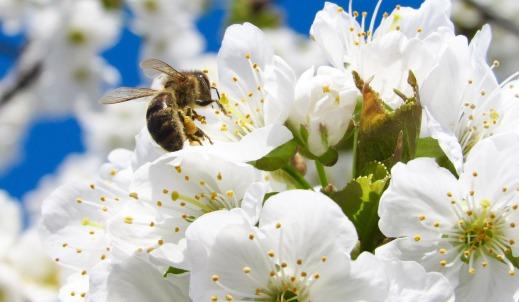 Disminución población abejas