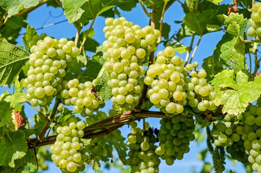 Nuevas Plantaciones viñedo