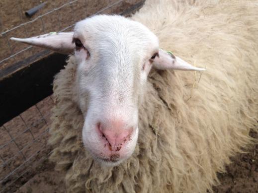 leche ovino crisis