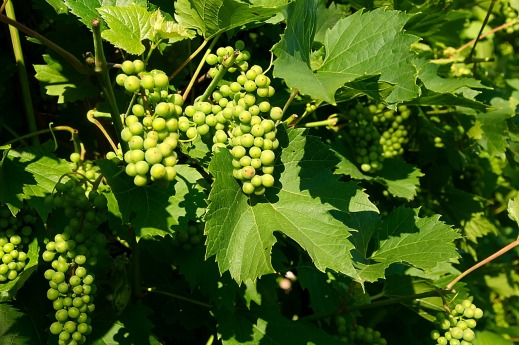 Seguro de uva de vino