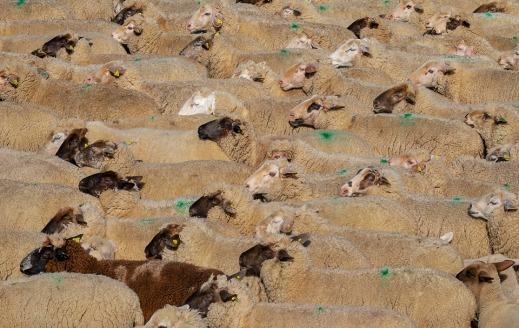 Ayuda asociada ovino caprino