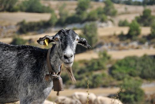 Ayuda acoplada ovino caprino