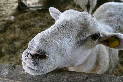 Crisis de ovino
