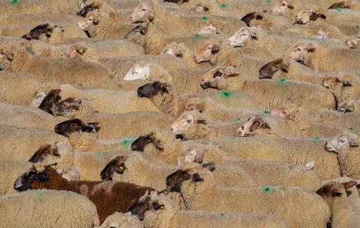 Ayudas PAC ovino