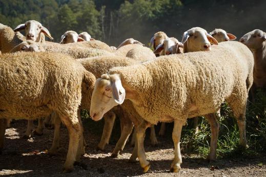 Ayudas asociadas ovino caprino 2018