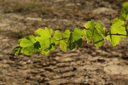 autorizaciones plantaciones viñedo