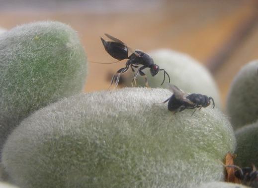 Plaga avispilla del almendro