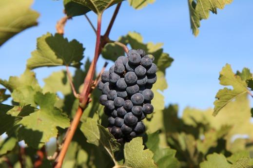 Seguro de viñedo