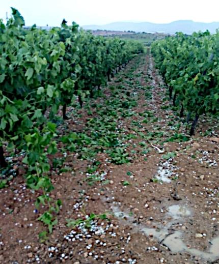 Pedrisco viñedo