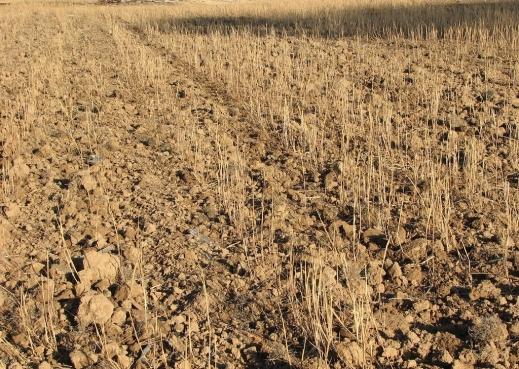 sequía cereales