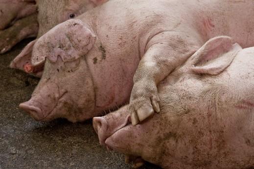 seguimiento mercado porcino