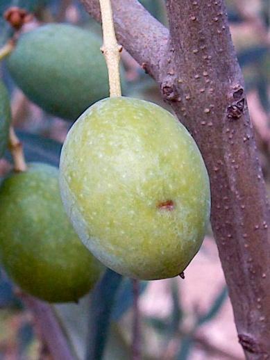 Situación mosca del olivo