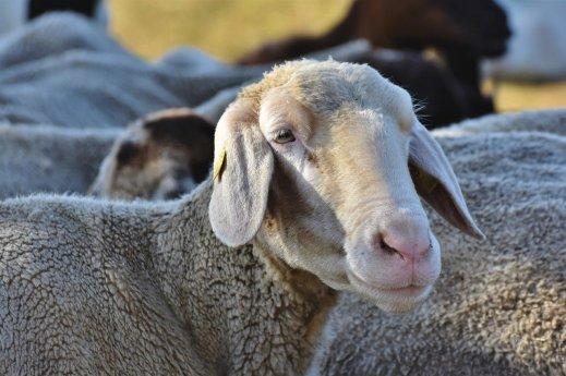 ovino caprino leche