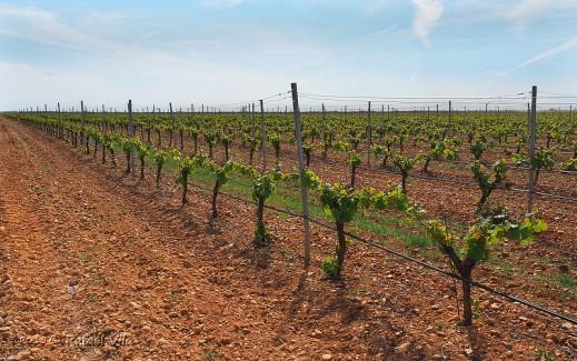 restructuración y reconversión del viñedo