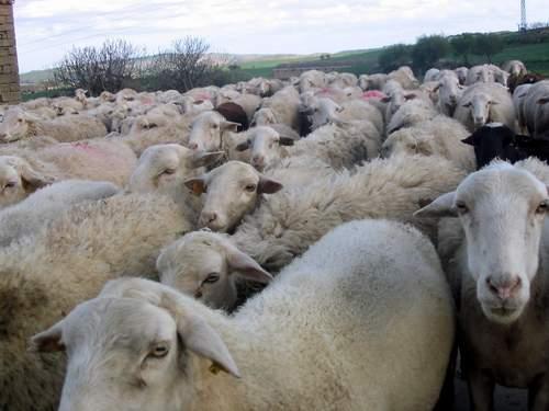 PAC 2019 ayuda asociada ovino