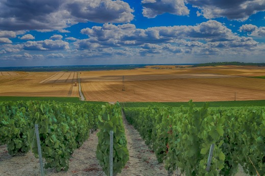 Arranque de viñedo