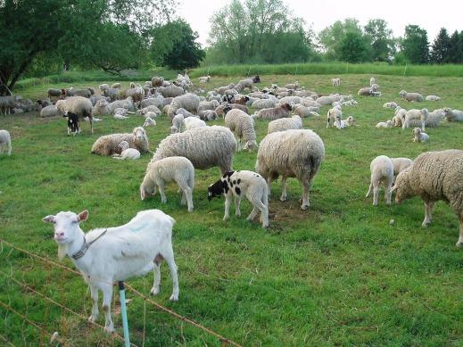 Ayudas ovino caprino coronavirus