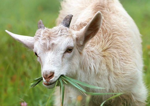ayuda ovino caprino covid19