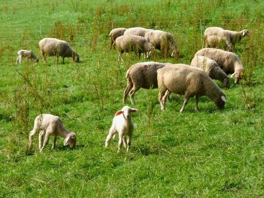 ayudas ovino caprino covid19