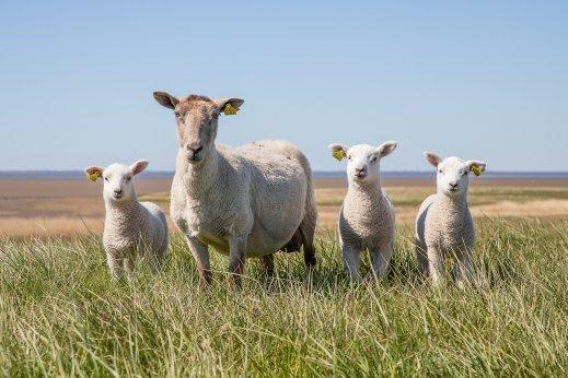 ayuda ovino caprino covid
