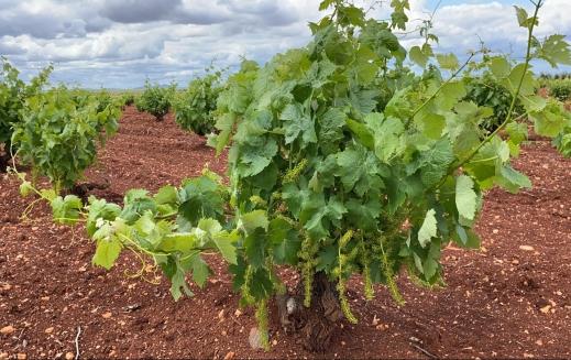 destilación de crisis vendimia en verde limitación de rendimientos viñedo