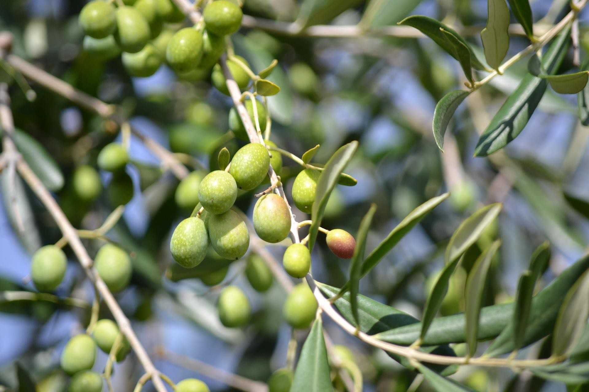 olives-886880_1920