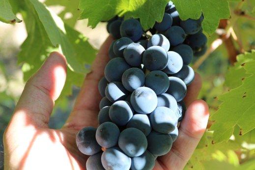 Contrato homologado de uva para vino