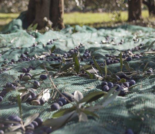 crisis aceite oliva