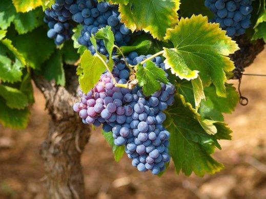 Limitación rendimientos uva vinificación