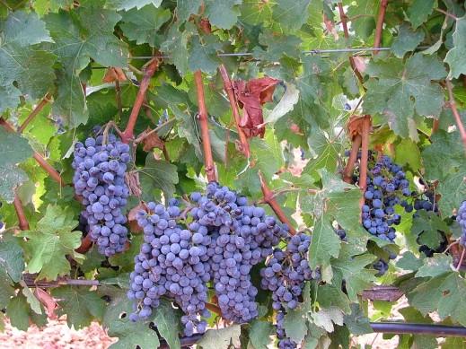 Seguro viñedo (2)