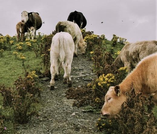 ayudas al pastoreo extensivo vacuno